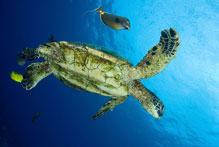 Green sea turtle, Chelonia mydas, Orangespine unicornfish, Naso lituratus