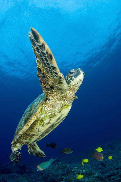 Cold Water Images, Photography by Kawika Chetron - Green sea turtle ...