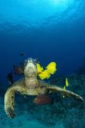 Green sea turtle, Chelonia mydas
