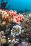 Fish-eating anemone, Urticina piscivora, Gopher rockfish, Sebastes carnatus, California hydrocoral, Stylaster californicus