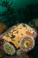 Fish-eating anemone, Urticina piscivora