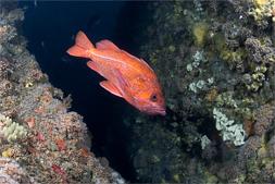 Vermilion rockfish, Sebastes miniatus, Zoanthid anemone