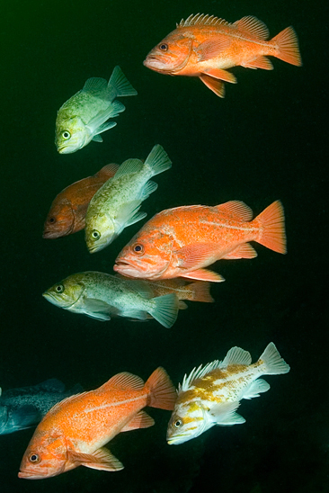 Kelp rockfish, Sebastes atrovirens, Kelp rockfish, Sebastes atrovirens, Copper rockfish, Sebastes caurinus