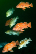 Copper rockfish, Sebastes caurinus, Kelp rockfish, Sebastes atrovirens, Copper rockfish, Sebastes caurinus