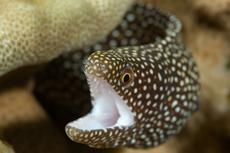 Whitemouth moray, Gymnothorax meleagris