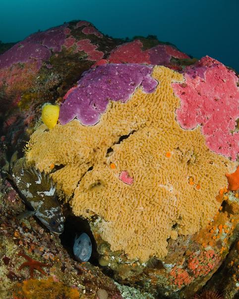 Encrusting hydrocoral, Stylantheca porphyra, Wolf eel, Anarrhichthys ocellatus, Gopher rockfish, Sebastes carnatus