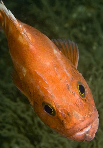 Yelloweye rockfish, Sebastes ruberrimus