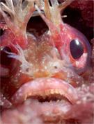 Yellowfin fringehead, Neoclinus stephensae