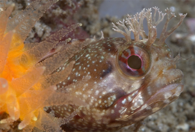 Yellowfin fringehead, Neoclinus stephensae, Orange cup coral, Balanophyllia elegans